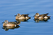 Blue-winged Teal Ducks - male & female.(Anas discors).Back Bay Reserve, California