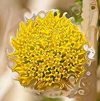 surreal daisy. Transformation of pistils into a spiral shape close-up with vanishing petals around.