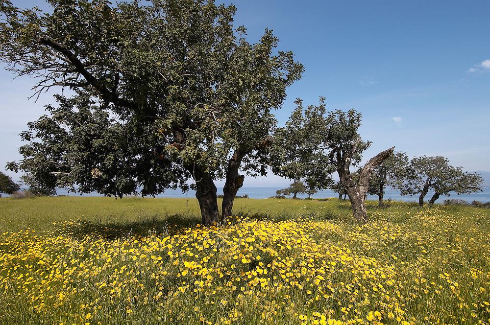 Carob or St. John´s bread and a meadow, Akamas Peninsula, Cyprus