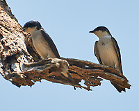 Gray-breasted Martin (Progne chalybea). Crooked Tree Wildlife Sanctuary. Image taken with a Nikon D3x camera and 70-300 mm VR lens