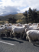 In New Zealand, farmers will often use public roadways to move their sheep between paddocks.