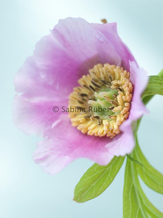 Paeonia veitchii - species peony