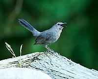 Gray Catbird. Image taken with a Nikon D4 camera and 80-400 mm VRII lens.