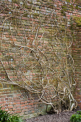 Framework of a fig, pruned and trained against a wall at Sissinghurst Castle Garden