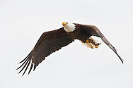 An adult Bald Eagle (Haliaeetus leucocephalus) flies carrying a fish at Big Beef Creek near the Hood Canal of Puget Sound, Washington, USA