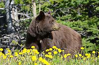 Black bear eating dandelions near Skagway, AK.
