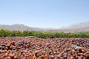 Grapes dry in the sun and become raisins, Chile.