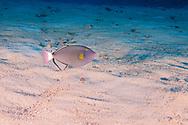 Pinktail Triggerfish, Melichthys vidua, (Richardson, 1845), Molokini Crater, Hawaii