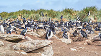 Southern Rockhopper Penguin (Eudyptes chrysocome), Imperial Cormorant (Phalacrocorax atriceps). Image taken with a Leica T camera and 18-56 mm lens.