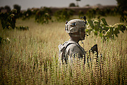 A U.S. Army soldier walks through a field of head-high crops after a firefight with insurgents.