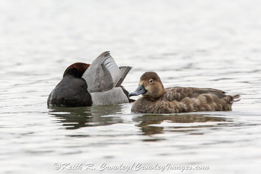 Redhead ducks swimming