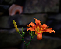 Day Lily. One thing I like about these flowers is deer don't eat them. Image taken with a Nikon D810A camera and 70-200 mm f/4 lens (ISO 200, 102 mm, f/4, 1/500 sec).