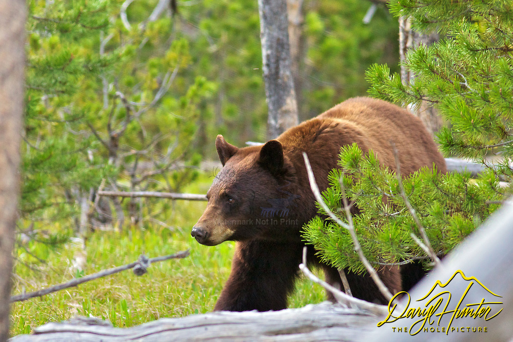 Cinnamon Black Bear, Yellowstone National Park