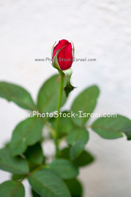 Red rose in a garden