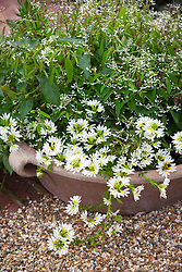 Scaevola 'White Wonder' and Euphorbia hypericifolia Diamond Frost = 'Inneuphe' in a shallow pot