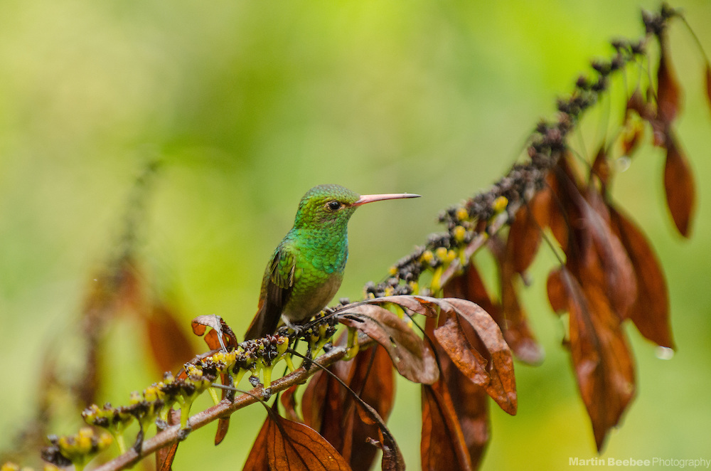 Rufous-tailed Hummingbird (Amazilia tzacatl), near Boca Tapada, Costa Rica