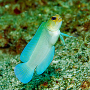 Yellowjawfish inhabit areas of sand and coral rubble near reefs; hover above burrows, in Tropical West Atlantic; picture taken Tobago.