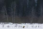 Red fox (Vulpes vulpes) on snow covered meadow looking for spot for short rest, Vidzeme, Latvia Ⓒ Davis Ulands | davisulands.com