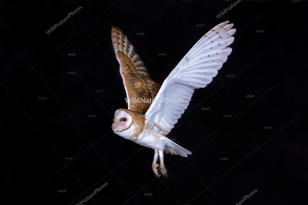 A Barn Owl (Tyto alba) flying silently through the darkness of night.