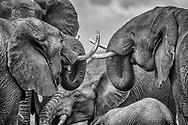 Congregation of elephants engage in tusky conversations at the waterhole in Lewa, Kenya.