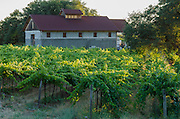 Vineyards in the Shenandoah Valley near Plymouth, Amador County, California