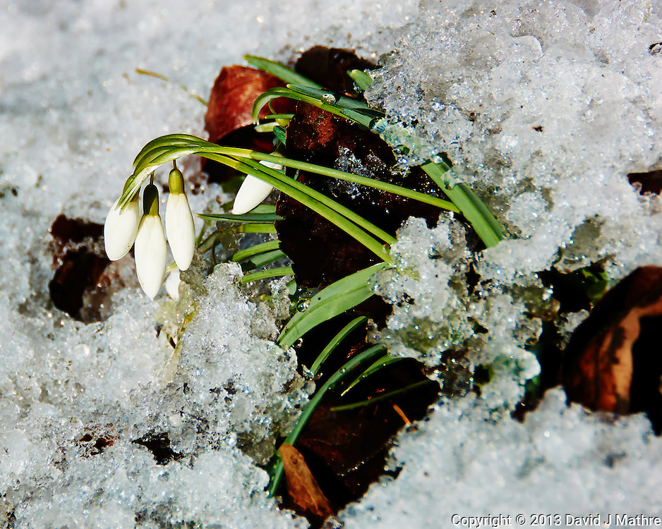 Snow Drop Flowers in the Snow Waiting for Spring. Image taken with a Nikon 1 V2, FT1 adapter, and 28-300 VR lens (ISO 160, 170 mm, f/5.6, 1/500 sec)