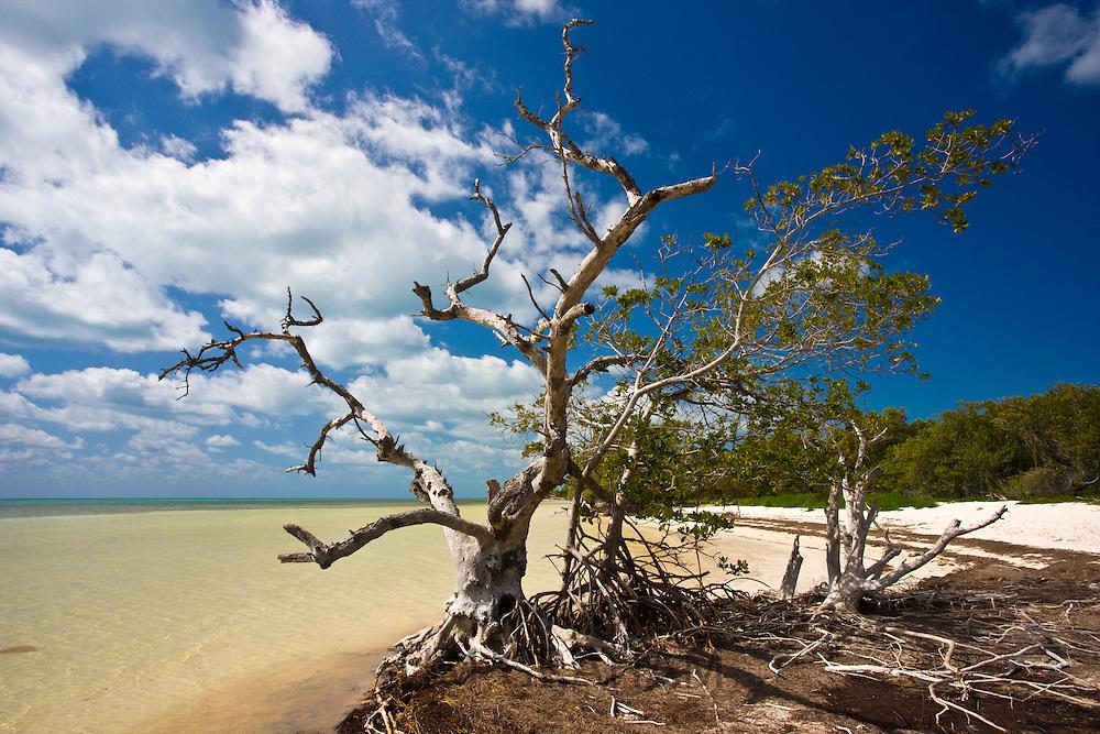 Dead sunbleached tree on edge of mangrove woodland, Islamorada, Florida Keys, United States of America
