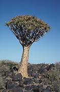 Quiver Tree or Kokerboom Tree, Aloe dichotoma, Namibia