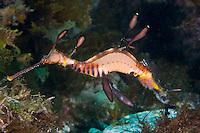 Male Weedy Sea Dragon Carrying Eggs..Shot in Australia