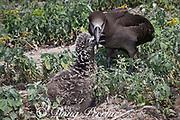 black-footed albatross, Phoebastria nigripes (formerly Diomedea nigripes), feeding chick by regurgitation, Sand Island, Midway Atoll, Midway National Wildlife Refuge, Papahanaumokuakea Marine National Monument, Northwest Hawaiian Islands, USA ( North Pacific Ocean )