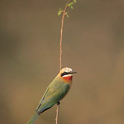 White-fronted Bee-eater, (Merops persicus) Lone bird perched protruding branch. Kruger National Park. South Africa.