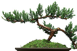 Bonsai Tree in pot