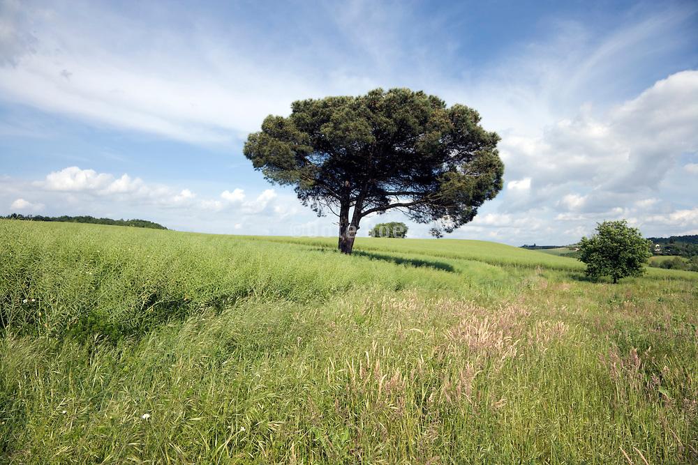 a single pine tree in landscape France