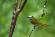 Buff-Throated Saltator (Saltator maximus)<br /> Mashpi Rainforest Biodiversity Reserve<br /> Pichincha<br /> Ecuador<br /> South America