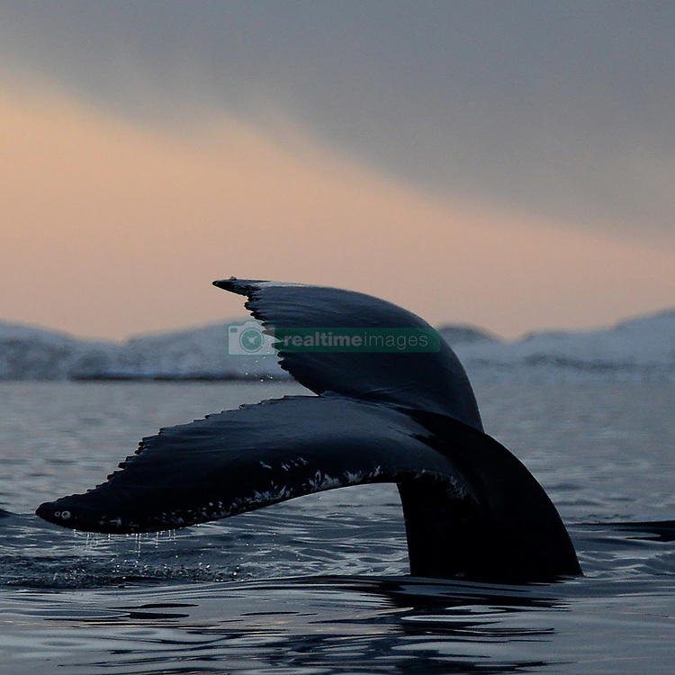 """EXCLUSIVE: You ORCA look behind you, this incredible photo shows a diver seemingly just yards from a feeding killer whale. Norwegian teacher Svein Aasjord, 44, his wife, and three boys, live in a fjord called Kaldfjord, in northern Norway close to the city of Tromsø - 217 miles north of the Arctic Circle. As well as living in one of the stunning coastal inlets Norway is famous for, the Aasjord family also live in one which is a popular hunting channel for whales feeding on herring. Each winter millions and millions of herring feed along the Norwegian coast in rich cold-water currents. Heading north to meet them is one the largest gatherings of orca and humpback whales on earth ready to feast on the bounty. In open water the whales stand little chance against the fast-moving shoals of herring, but by herding the tiny fish into fjords the whales create hundreds of 'bait balls' trapping the fish at the surface before going in for the kill. Sometimes the Aasjord family's local Kaldfjord can be literally full of herring and large numbers of orca and humpbacks hunting them. The action has been so close to the house that Svein has been able to take photographs from inside his own property. These stunning photographs are just some Svein has been able to take over the years, including some breath-taking shots of his friends SWIMMING with the hunting orcas. Svein said: """"All the people that have seen that picture tell me 'he's going to die in the next moment'. """"I shouted to my friend 'look over here', because I wanted him to be looking at me when one of the big males was behind him. The whale of course was not up for the diver at all, he was just up for air. """"The diver is a friend of mine, he and his girlfriend are experienced divers, they are not professional divers but they dive all the time. """"We shut off the engine, as I am very strict when it comes to not disturbing the whales because they are feeding and I don't want to interfere with their live"""