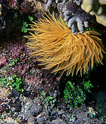 Tube worm from the genus Sabellastarte photographed on a coral reef at Bunaken, North Sulawesi, Indonesia.