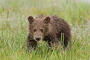 Brown bear cub on a rainy day in Lake Clark National Park Alaska