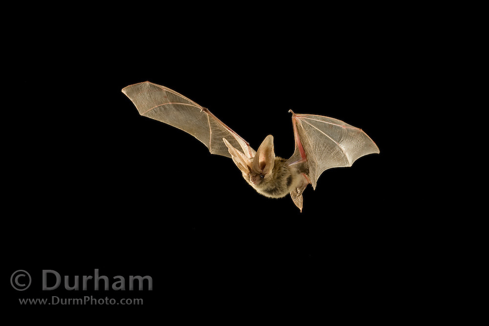 A rare allen's lappet-browed  bat (Idionycteris phyllotis) flying at night. This lactating female was photographed near the south rim of the Grand Canyon, and was later tracked back to her roost, where she had a pup, 16 kilometers away to the north rim of the Grand Canyon.