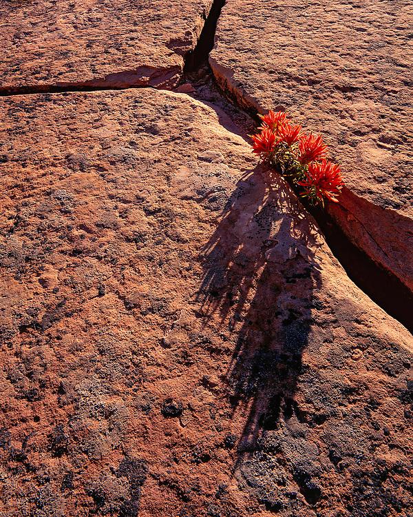 Indian paintbrush and sandstone, spring, Zion National Park, Utah, USA