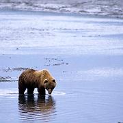 Alaskan Brown Bear, (Ursus middendorffi) Lone bear foraging in shallow river. Alaska Peninsula.