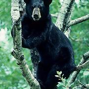 Black Bear, (Ursus americanus) Minnesota, takes refuge in tree from larger male bear below. Summer.