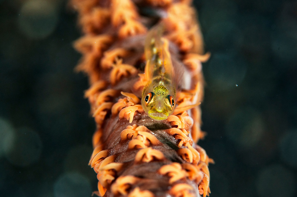 Wire coral goby (Bryaninops youngei) on Yellow wire coral (Cirripathes anguina), Witu Islands, Papua New Guinea