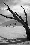 Black and white image from 35mm (Ilford XP4) film of one of the desiccated trees in Dead Vlei, Sossusvlei, Namibia