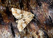 Close-up of a Dusky sallow moth (Eremobia ochroleuca) on a wet birch tree with wings open preparing to take flight in a Norfolk garden in summer