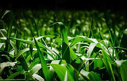 Sweat corn plants growing on a farm in the Cotes de Duras, Lot et Garonne, Aquitaine, France<br /> <br /> (c) Andrew Wilson | Edinburgh Elite media