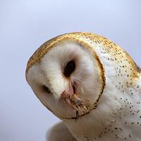 North America, Americas, USA, United States, Arizona. Common Barn Owl at the Arizona-Sonora Desert Museum.