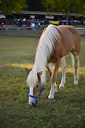Old Bethpage, New York, USA. 28th September 2014. A Palomino horse grasses on grass at the 172nd Long Island Fair, a six-day fall county fair held late September to early October. A yearly event since 1842, the old-time festival is now held at a reconstructed fairground at Old Bethpage Village Restoration.