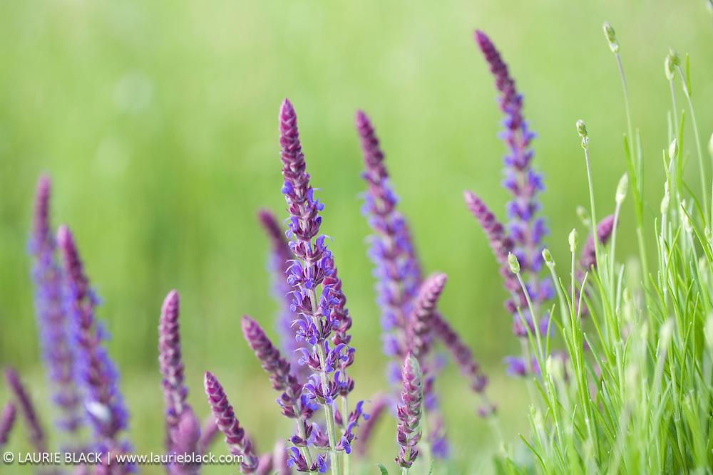 Lavender botanical art photograph.