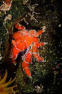 crab on reef sponge in Bonaire