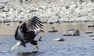 """Bald Eagle fishing on the Arkansas River. Colorado. USA. <br /> <br /> AVAILABLE AS:<br /> <br /> Size 20"""" x 16"""" (50.8cm x 40.6cm approx)*<br /> Edition of ONLY 100 at this size.<br /> US$350 + shipping<br /> <br /> Hand printed in Taos, New Mexico, USA by Taos Print and Photography Services using archival inks and fine art paper. signed and numbered by hand.<br /> <br /> Contact jim@jimodonnellphotography.com to order"""